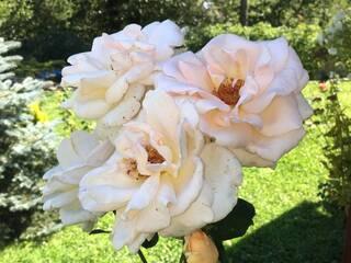 наши розы которых на территории больше 50 кустов